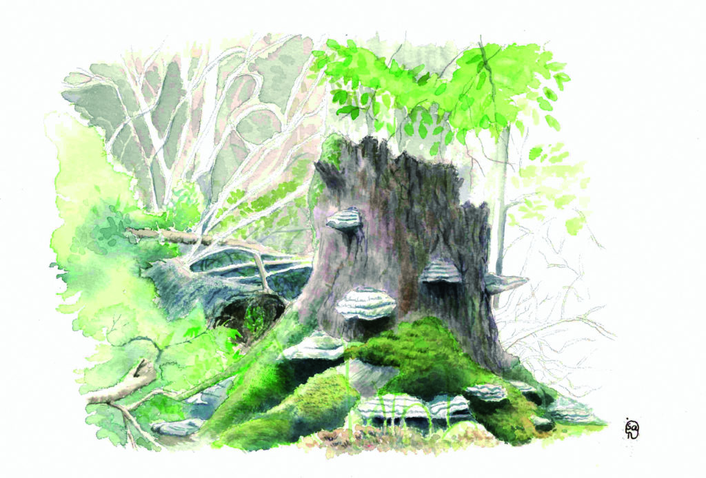 dessin de Isapi pour Bialowieza