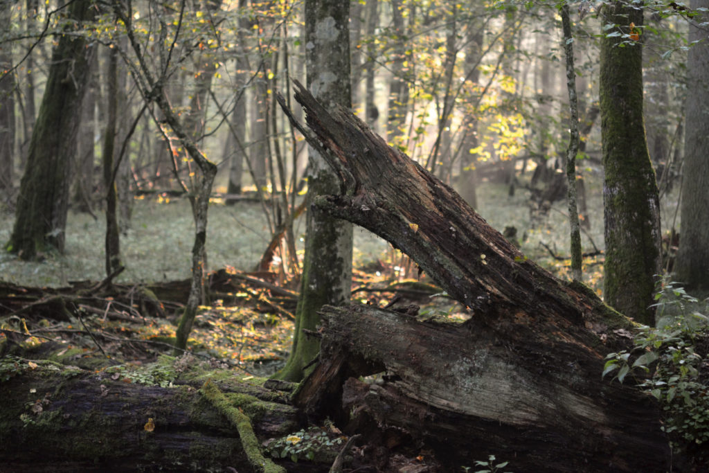 forêt de bialowieza en pologne