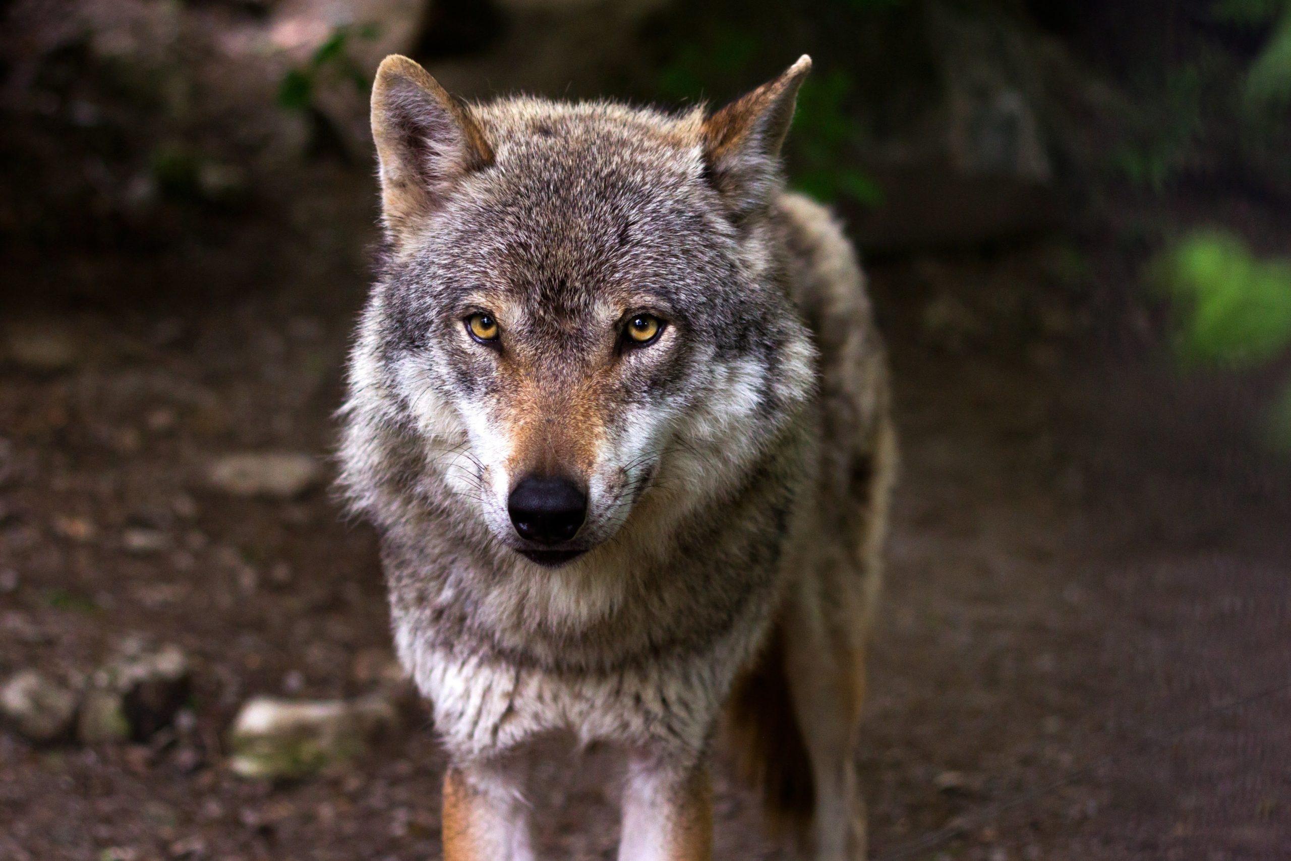 Conférence Le retour du loup