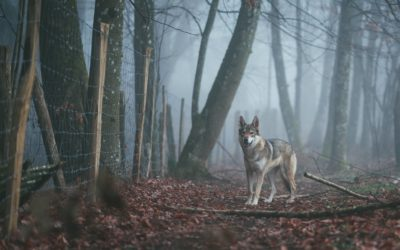 What place for the wolf in Wallonia?